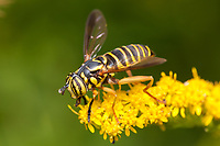 A Syrphid Fly (Spilomyia longicornis) foraging on a Goldenrod flower. <br />  This fly mimics a wasp or yellowjacket.