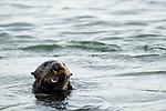 Sea Otter (Enhydra lutris) juvenile feeding on clam prey, Elkhorn Slough, Monterey Bay, California