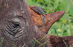CUDDLE -  A small oxpecker bird cuddles into the horn of a rhinoceros as it tries to sharpen its beak on the beast's horn.  These photos were shot in a private game reserve in South Africa as an oxpecker sharpened its beak on the horn of a white rhino while it grazed on grass.<br /> <br /> The bird looked like it was cuddling the rhino and having a nap in the crevice between the horn and its face.  SEE OUR COPY FOR DETAILS.<br /> <br /> Please byline: Zaheer Ali/Solent News<br /> <br /> © Zaheer Ali/Solent News & Photo Agency<br /> UK +44 (0) 2380 458800