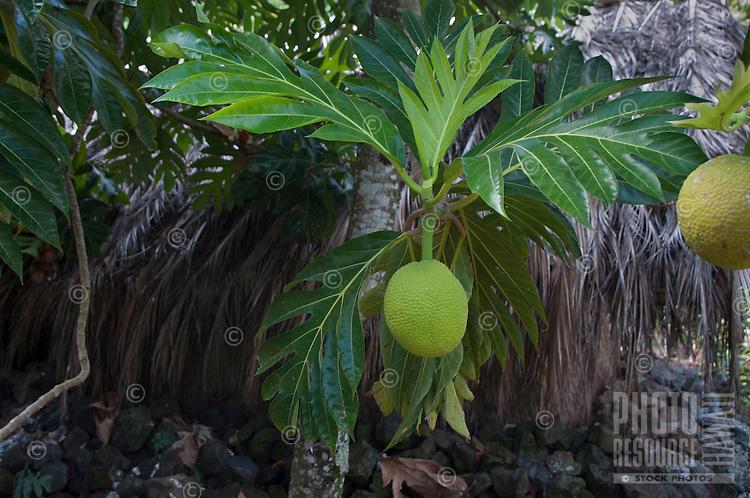 Breadfruit plant at Kamokila Hawaiian Village, Wailua River Valley, Kauai; breadfruit leaves are often used in Hawaiian quilt designs.