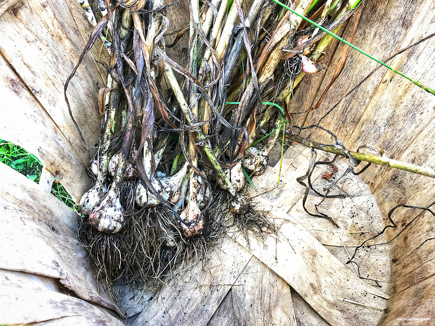 2021 Garlic Harvest Grafton NH