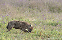 Spotted Hyena, Crocuta crocuta, in Ngorongoro Crater, Ngorongoro Conservation Area, Tanzania