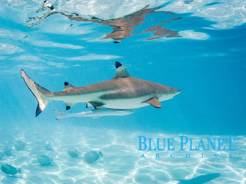 blacktip reef shark, Carcharhinus melanopterus, with remora, swimming in the shallow waters of Moorea, French Polynesia, South Pacific Ocean