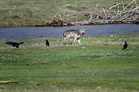 Wolf, Lamar Valley, Yellowstone National Park