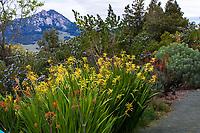 Chasmanthe floribunda var. duckittii Yellow Cobra Lily flowering South African bulb n drought tolerant, summer-dry border; Leaning Pine Arboretum, San Luis Obispo, California
