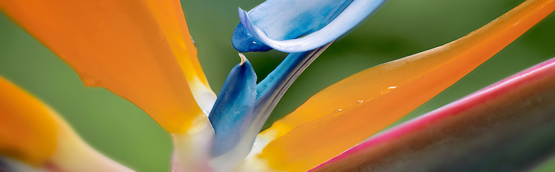 Close up of Bird of Paradise flower. St. John, Virgin Islands