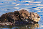Sea Otter (Enhydra lutris) mother carrying pup on belly, Elkhorn Slough, Monterey Bay, California