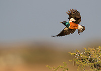 A Superb starling shows off its colors as it takes off on an Ndutu morning.