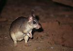 Madagascar Giant Jumping Rat (Hypogeomys antimena) outside burrow. Kirindy Forest, western Madagascar. Critically Endangered.