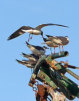 Laughing gulls on shrimp boat boom, standing room only!