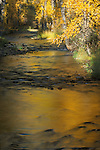 Golden colored cottonwood leaves reflected off the surface of Nine Mile Creek in western Montana