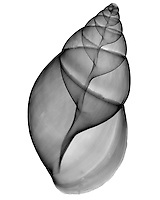 Xray Achatina shell