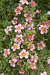 BACOPA 'PARTY SALMON WITH RED EYE'