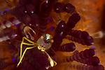 Brooks Sea Urchin Shrimp, Allopontonia brockii