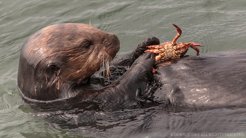 This pair of male (I think) otters were playing and feeding on crabs next the the culvert that runs under Jetty Road in Moss Landing.  People traveling down nearby Highway 1 to see the otters on display at the Monterey Bay Aquarium missed the real deal of a show!