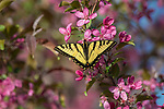 Eastern tiger swallowtail finding the nectar from a flowering crabapple tree.