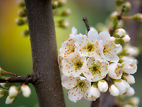 Dwarf Shiro Plum blossoms, close up. Oregon