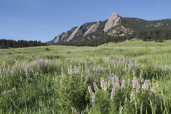 Lupine wildflowers and the Flatirons rock formation in Chautauqua Park, Boulder, Colorado, USA .  John leads private photo tours in Boulder and throughout Colorado. Year-round Colorado photo tours.