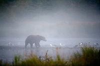 Brown bear in the morning fog and grasses along the Brooks River, Katmai National Park, southwest, Alaska.
