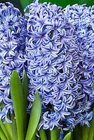 Hyacinthus orientalis 'Blue Jacket' (AGM) in blue spring flowers with white picotee edge
