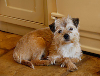Border terrier lying by an AGA....Copyright John Eveson 01995 61280.j.r.eveson@btinternet.com