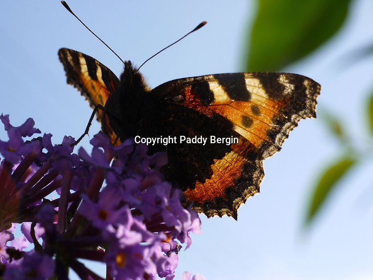 The Tortoiseshell is a medium-sized butterfly that is mainly reddish-orange in colour, with black and yellow markings on the forewings as well as a ring of blue spots around the edge of the wings. It has a wingspan ranging from 4.5-6.2 cm.<br /> <br /> The small tortoiseshell is the National Butterfly of Denmark.<br /> <br /> Stock Photo by Paddy Bergin