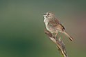Rufous-crowned sparrow singing on a perch.