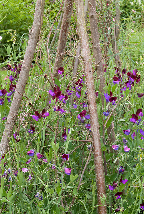 Sweetpeas Cupani aka Matucana Lathyrus odoratus sweet pea flowers bicolored climbing annual flowering heirloom climbing vine staked on pole trellis