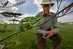 Adult Flap-necked Chameleon (Chameleo dilepis) and tourist (Dr Peter Davies). Ndutu Safari Lodge, Ngorongoro Conservation Area, Tanzania.