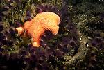 Santa Cruz Island, Channel Islands, California; Bat Star (Patiria miniata) amongst Colonial Sand-Tube Worms (Phragmatopoma californica) , Copyright © Matthew Meier, matthewmeierphoto.com All Rights Reserved