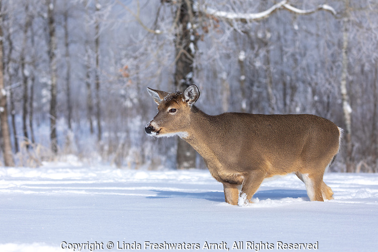 White-tailed doe walking in the deep winter snow.