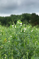 13-7-2021 Pea plants flowering <br /> ©Tim Scrivener Photographer 07850 303986<br />      ....Covering Agriculture In The UK....