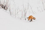 A single red fox finds its way through branches poking up through the snow as it looks for prey during the winter months in Yellowstone National Park.