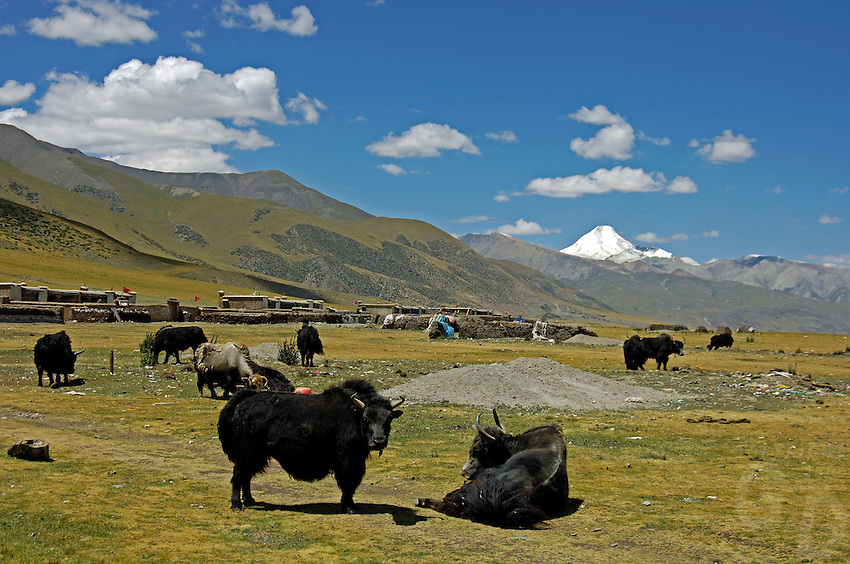 """Tibetan nomads taken a rest with their Yaks on the Tibetan Plateau, the average elevation exceeding 4,500 metres (14,800 ft), the Tibetan Plateau is sometimes called """"the Roof of the World"""" and is the world's highest and largest plateau. China<br /> Domesticated yaks have been kept for thousands of years, primarily for their milk, fibre and meat, and as beasts of burden. Their dried droppings are an important fuel, used all over Tibet, and are often the only fuel available on the high treeless Tibetan Plateau"""