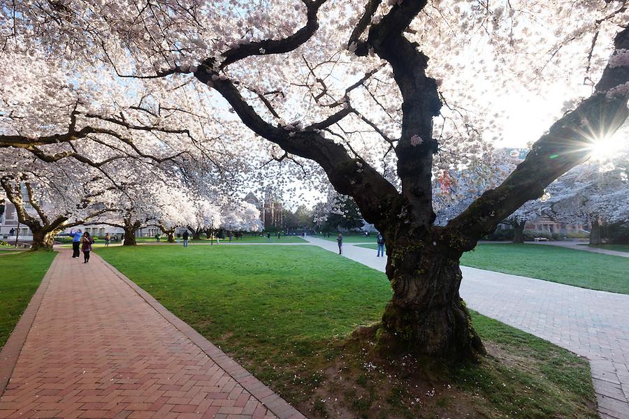 Blooming Yoshino cherry trees, Liberal Arts Quad, University of Washington, Seattle, Washington, USA