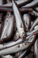 Blue whiting Micromesistius poutassou or Gadus poutassou on trawler deck