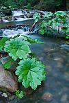 Waterfalls with Indian rhubarb (Darmera peltata), Panther Creek, Amador County, Calif.