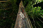 Sugar Glider (Petaurus breviceps) feeding on nectar from a tree trunk.