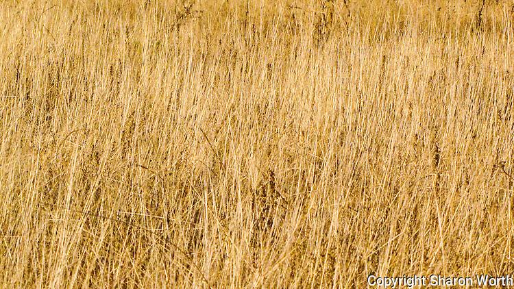 A field of tall yellow grass,