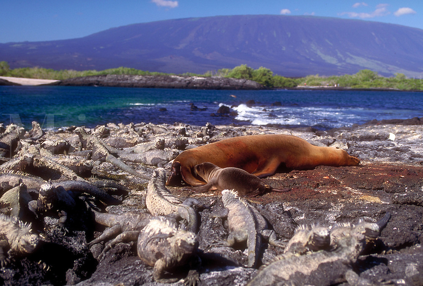 Marine Iguanas surround a Female Sea Lion and her newborn pup. The slopes of Fernandina Volcano arise in the distance to 4,900 feet elevation, Galapagos Islands. Sea Lions, Birth, Volcanoes. Punta Espinosa, Fernandina Isl. Galapagos Islands Ecuador Pacifi
