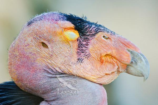 California Condor (Gymnogyps californianus) with eye shut.