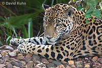 0615-1108  Jaguar, Belize, Panthera onca  © David Kuhn/Dwight Kuhn Photography