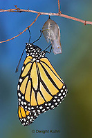 MO04-502z  Monarch emerging from chrysalis - Danaus plexipuss