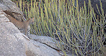 India, Rajasthan, Indian leopard (Panthera pardus fusca), Euphorbia caducifolia