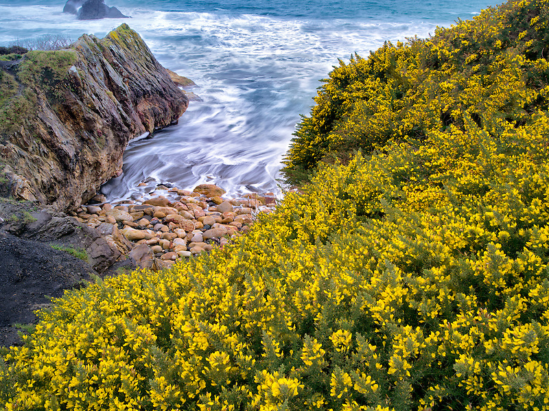 Blooming gorse and waves. Harris Beach State Park, Oregon