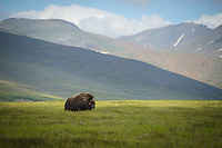 Musk Oxen near Nome, Alaska. Photo by James R. Evans