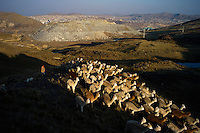 A shepherd guides alpacas and llamas back toward home in Botadero de Rumiyana, in the hills above Cerro de Pasco, Peru. In the background is a large pile of mine tailings which is growing daily. The pile now covers fields and a lagoon which were previously used by the shepherds for their animals. Farther in the background is the city of Cerro de Pasco and the open-pit mine run by Volcan in the center of the city.