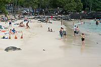 beachgoers enjoy themselves, while 7 year old male Hawaiian monk seal, Neomonachus schauinslandi, recently molted, rests on beach inside of SPZ ( seal protection zone ), largely ignored by the public, at La'aloa or Magic Sands Beach Park, Kailua Kona, Big Island, Hawaii, USA, Pacific Ocean