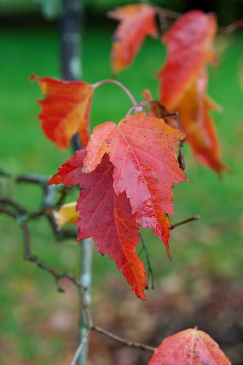 Tatar or Tartar maple (Acer tataricum subsp. ginnala), end October. Sometimes called the Amur maple (Acer ginnala).