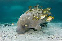 Florida manatee, Trichechus manatus latirostris latirostris, a subspecies of West Indian manatee, Trichechus manatus, resting quietly at the bottom while getting cleaned by bluegills, Lepomis macrochirus, Three Sisters Springs, Crystal River, Florida, USA